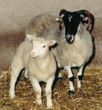 cloning of dolly the sheep and the controversy of human cloning The cloning controversy  it first gained popularity in 1990 after a famous experiment with dolly the sheep however, dolly was not the first animal that was cloned—this title goes to a sea.